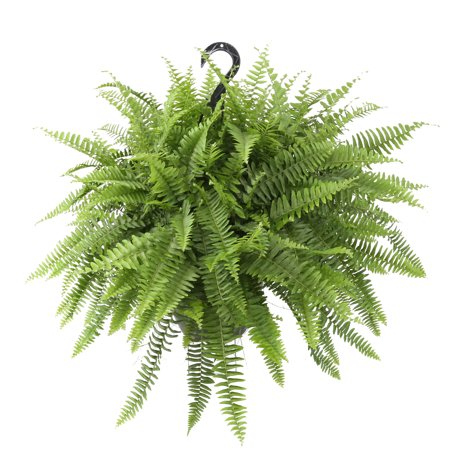 Costa Farms Live Indoor 20in. Tall Green Boston Fern, Shade, Plant in 10in. Hanging Basket