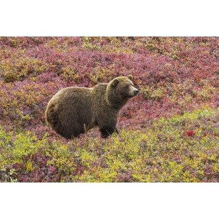 Close up of a grizzly bear (ursus arctos horribilis) standing in colorful red blueberry bushes in autumn Denali National Park Alaska United States of America PosterPrint - Bear Standing Up