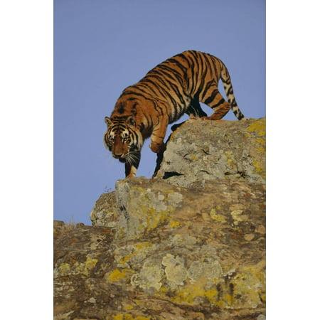 Bengal Tiger Climbing down Rocks Print Wall Art By DLILLC