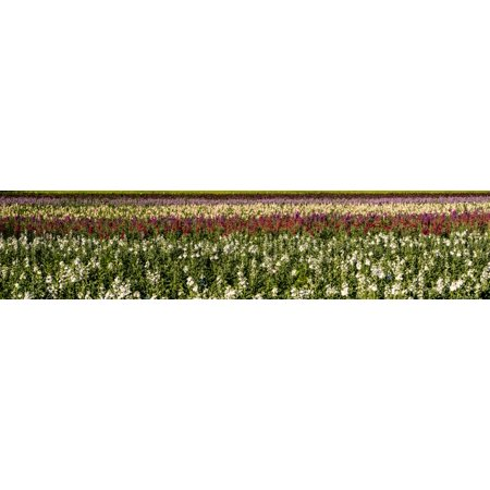 Sweet Pea Wedding Flowers - Sweet pea flowers in a field Lompoc Santa Barbara County California USA Poster Print by Panoramic Images