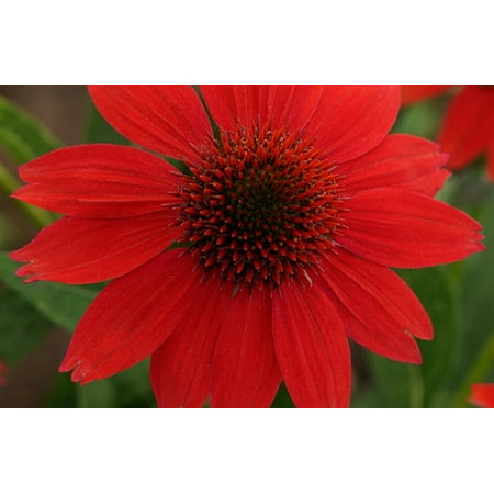 Salsa Red Sombrero Coneflower Perennial - Echinacea - Gallon Pot