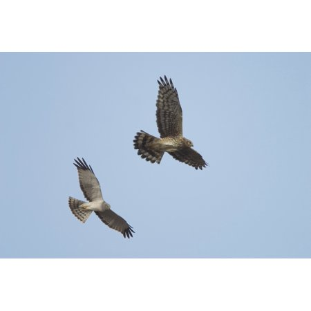 Northern Harrier Hawks In Flight Composite Digital AkNdenali National Park Canvas Art - Calvin Hall  Design Pics (19 x 12)