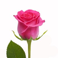 """Natural Fresh Flowers - Hot Pink Roses, 20"""", 50 Stems"""