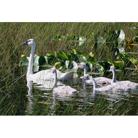 Canvas Print Trumpeter Swans Chicks Brood Young Birds Swan Stretched Canvas 10 x 14