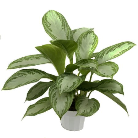 (Silver Bay Chinese Evergreen Plant - Aglaonema - Low Light - 4