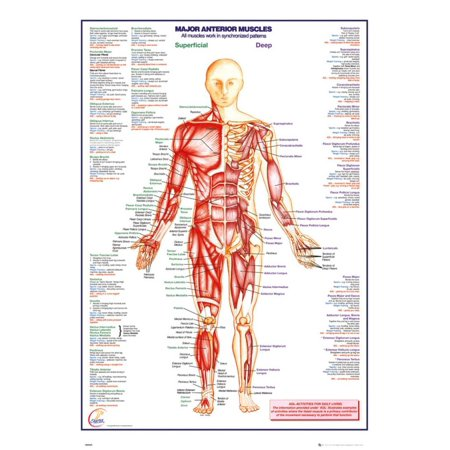 Human Body Major Anterior Muscles Poster - 24x36