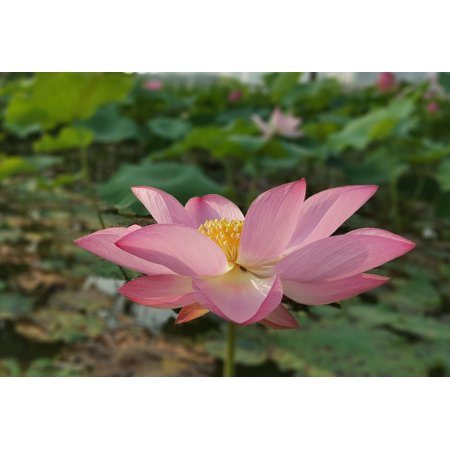 5 Seeds Wild Indian Lotus -Stunning Pink Flowers- Water Plant -Dried Pods look like watering cans & used in Arrangements Nelumbo