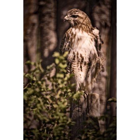 Hawk On A Post Saskatoon Saskatchewan PosterPrint