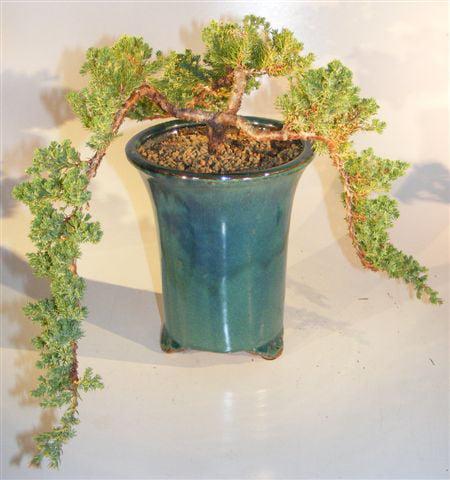 Juniper Bonsai Tree Multi-Cascade (juniper procumbens nana)