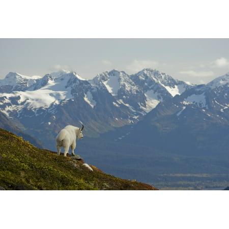 Mountain Goat Stands (A Mountain Goat Stands On A Ridge With The Scenic Kenai Mountains In The Background During Autumn Kenai Peninsula Southcentral Alaska PosterPrint )