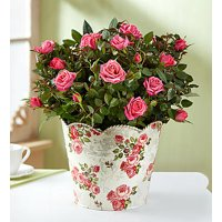 1800Flowers Classic Pink Rose Plant in Floral Planter (Large)