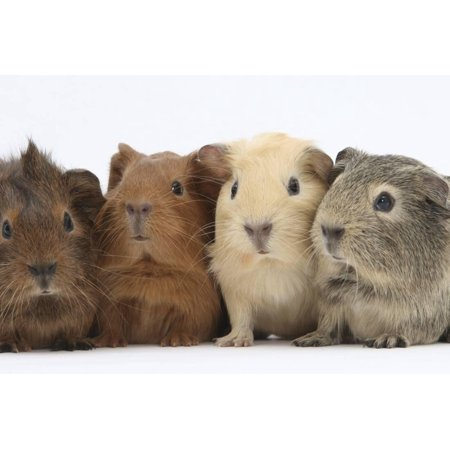 Four Baby Guinea Pigs, Each a Different Colour Print Wall Art By Mark Taylor for $<!---->