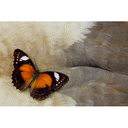 Lacewing Butterfly on Egyptian Goose Feather Design Print Wall Art By Darrell Gulin