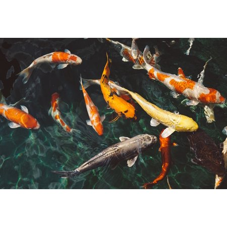 LAMINATED POSTER Animals Swimming School Of Fish Koi Fishes Fishes Poster Print 24 x 36 ()