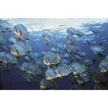 A School Of Longfin Spadefish Sipidan Island Malaysia Poster Print By Vwpicsstocktrek Images