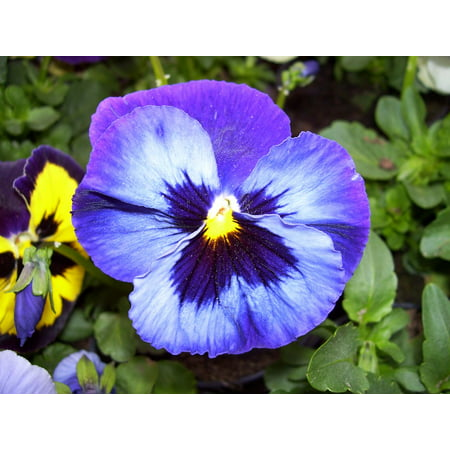 Laminated Poster Pansy Spring Garden Pollen Plant Pansies Flowers