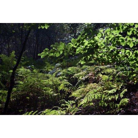 LAMINATED POSTER Sun Woodland Shade Backlit Ferns Autumn Light Poster Print 24 x 36
