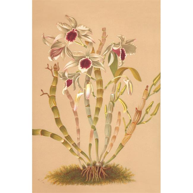 Buy Enlarge 0-587-26925-1P12x18 Dendrobium Ainsworth II- Paper Size P12x18