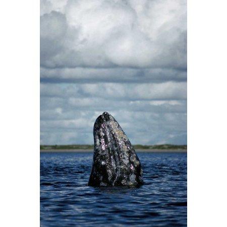 Gray Whale spy-hopping in breeding lagoon Baja California Mexico Poster Print by Tui De Roy