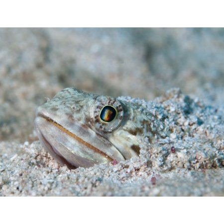 Sand Diver hiding below sand on caribbean reef Canvas Art - Karen DoodyStocktrek Images (33 x