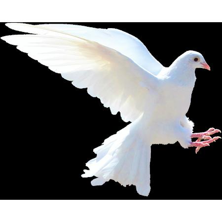 Canvas Print Animals White Dove Nature Bird Stretched Canvas 10 x 14
