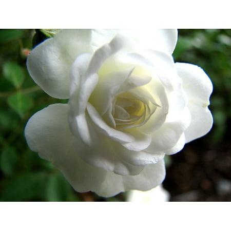 "Snow Bride Miniature Rose Bush - Fragrant/Hardy - 4"" Pot"