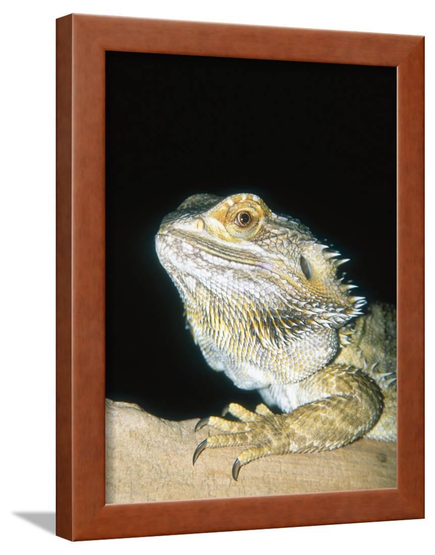 Bearded Dragon, Aquarium Animal Framed Print Wall Art By Stan Osolinski