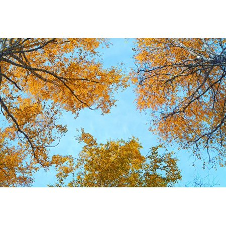 Canvas Print Birch Foliage Yellow Forest Sheet Sky Autumn Stretched Canvas 10 x