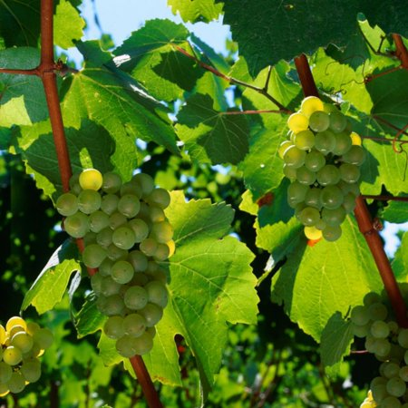 Chardonnay Grapes from the Napa Valley in California, Napa Valley, California, USA Print Wall Art By Wes Walker