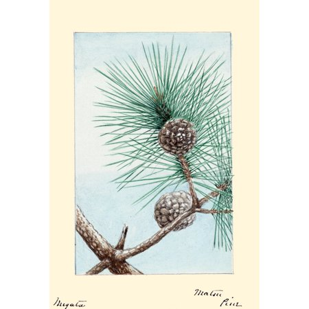 Japanese print of Drawing shows a branch of the matsu pine with pinecone and needles Poster Print by Megata Morikaga