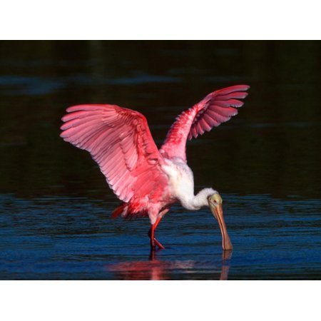 Roseate Spoonbill, Ding Darling National Wildlife Refuge, Sanibel Island, Florida, USA Print Wall Art By Charles