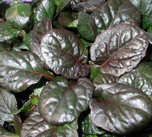 Catlin's Giant Ajuga - Carpet Bugle - Huge Leaves - 48 Pl...