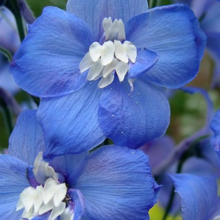 Delphinium Magic Fountain Series Flower Seeds Dark Blue 1000