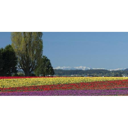 Washington Skagit Valley Mount Vernon Tulip Field With
