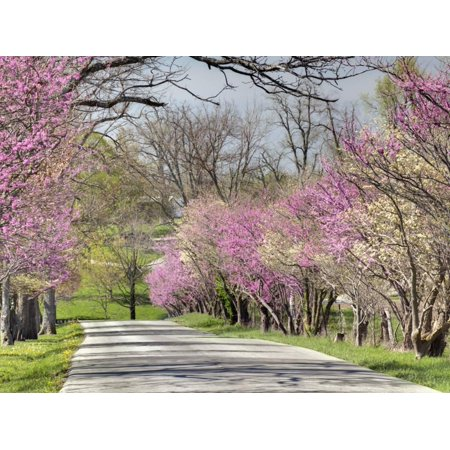 Road Lined with Redbud and Dogwood Trees in Full Bloom, Lexington, Kentucky, Usa Print Wall Art By Adam - Dogwood Bloom