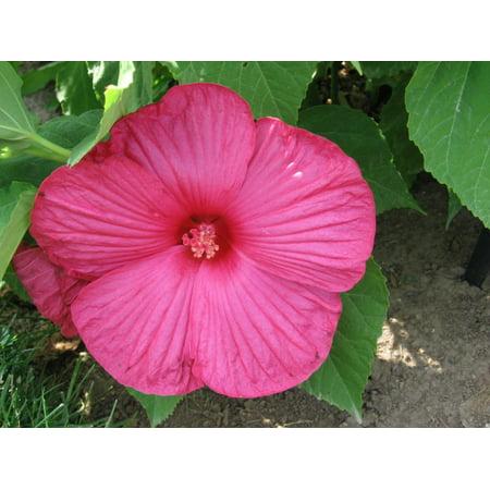 Giant Rose - Luna Rose Giant Hibiscus - Perennial - 4