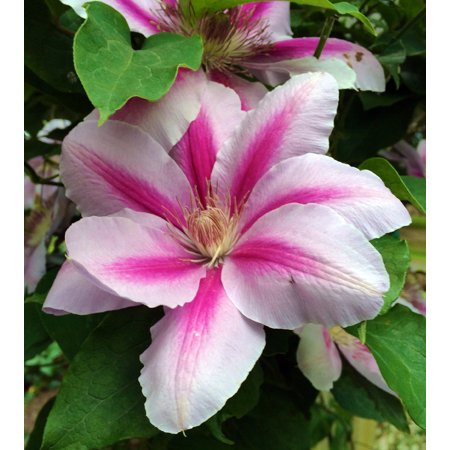 Festival Clematis Vine - Compact Growth - 2.5
