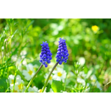 Canvas Print Blue Muscari Flower Spring Blossom Bloom Stretched Canvas 10 x 14