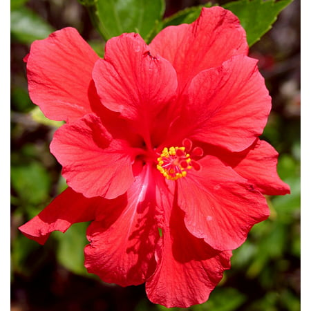LAMINATED POSTER Floral Petal Natural Hibiscus Plant Bloom Blossom Poster Print 24 x 36