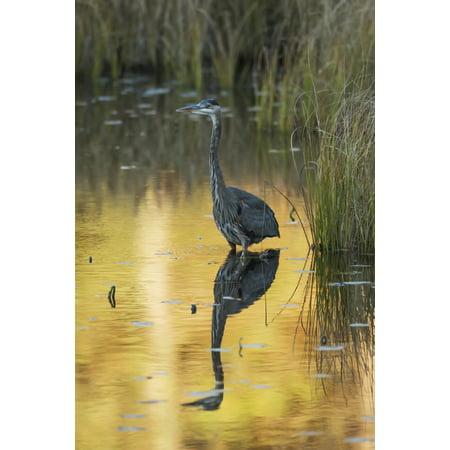 Great Blue Heron (Ardea herodias) fishing in Costello Creek Algonquin Park Ontario Canada Stretched Canvas - Robert Postma  Design Pics (12 x 19)