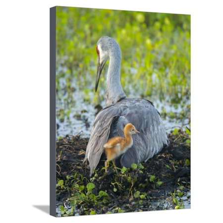 Sandhill Crane on Nest with Colt under Wing, Florida Stretched Canvas Print Wall Art By Maresa Pryor