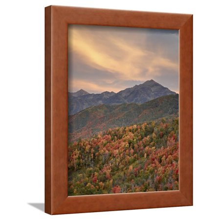 Sunset Maple (Orange Clouds at Sunset over Orange and Red Maples in the Fall, Uinta National Forest, Utah, USA Framed Print Wall Art By James Hager)
