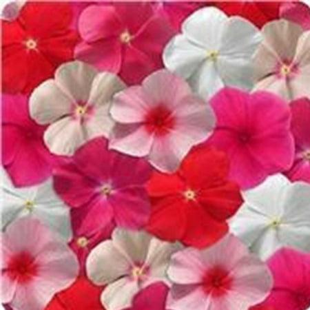 Vinca Flower Garden Seeds - Mediterranean XP Series - Color Mix - 100 Seeds - Annual Flower Gardening Seed (Mediterranean Garden)