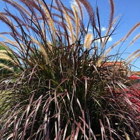 Rubrum Purple Fountain Gras (Pennisetum), Live Plants