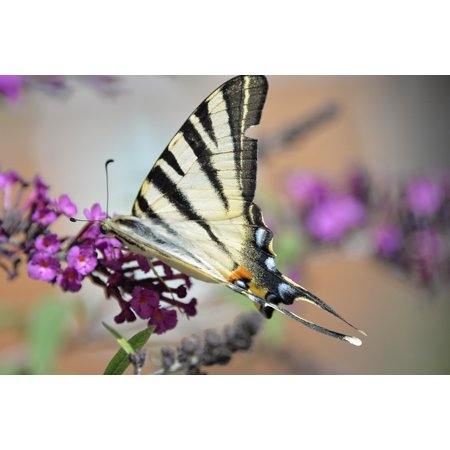 LAMINATED POSTER Butterfly Tigerprint Butterfly Park Animal Bug Poster Print 24 x 36