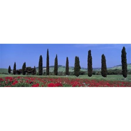 Field Of Poppies And Cypresses In A Row  Tuscany  Italy Poster Print by  - 36 x 12 - image 1 of 1