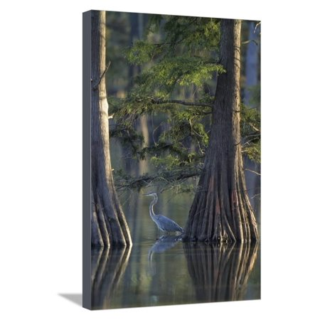 Great Blue Heron Fishing Near Cypress Trees, Horseshoe Lake State Park, Illinois Stretched Canvas Print Wall Art By Richard and Susan