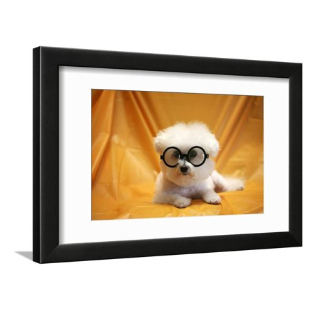 Halloween Spa Promotions (Fifi The Purebred Bichon Frise Fresh From The Doggy Day Spa Tries Out Her Halloween Costumes Framed Print Wall Art By)