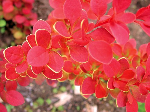 "Sunjoy Tangelo Berberis thunbergii- Outside or Bonsai - 4"" Pot, 2013 Patent Strings:... by"