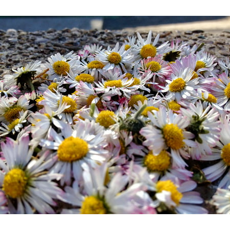 LAMINATED POSTER Flowers Daisy Meadow White Nature Spring Plant Poster Print 24 x 36